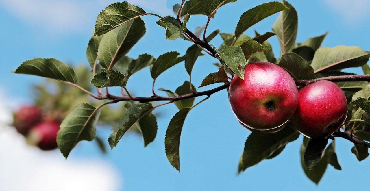 農場のリンゴ