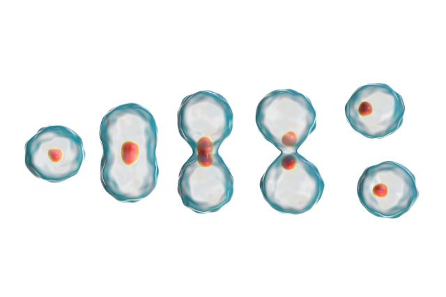細胞分裂が多い人ほど、ガンになりやすい
